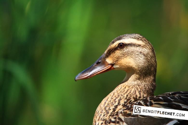 duck*