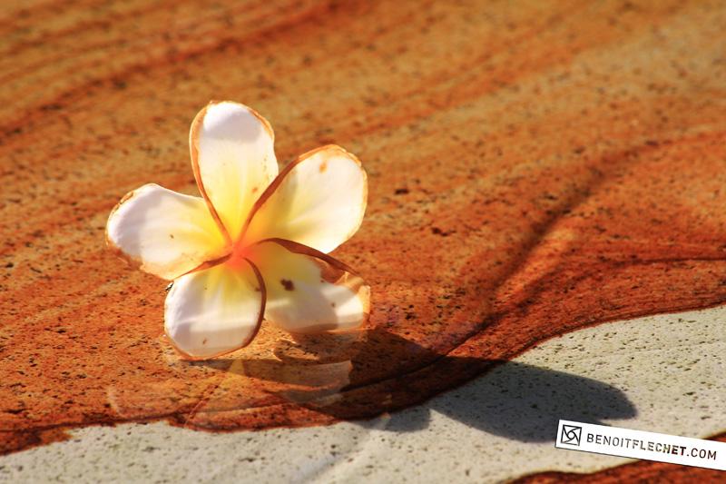 frangipanier flower